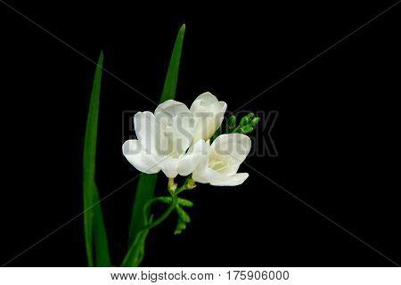 single flower white freesia on black background