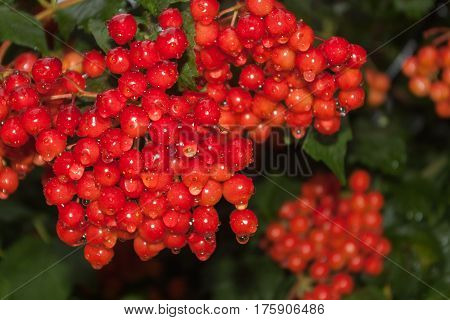 Bunches of red viburnum with raindrops on berries. Guelder rose with green leaves in village close-up, medicinal plant.