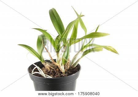 Dendrobium Phalaenopsis hybrid orchid in a pot isolated on white background