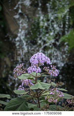 Stunning Purple Torch Bartlettina Sordida Flower In Full Bloom