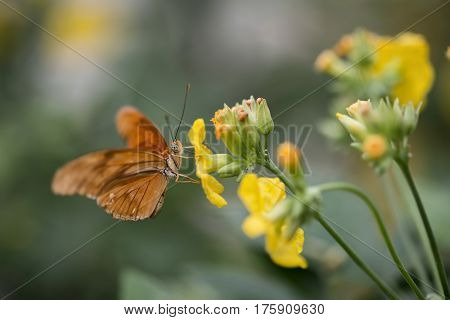 Julia Butterfly Lepidoptra Nymphalidae Butterfly On Vibrant Yellow Flowers