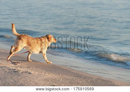 Happy dog playing with waves on Fort Meyers beach, Florida