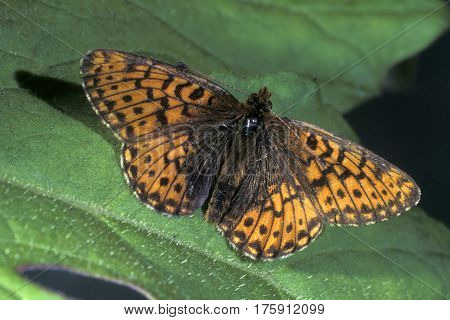 Titania's Fritillary, Boloria titania sitting on a green leaf