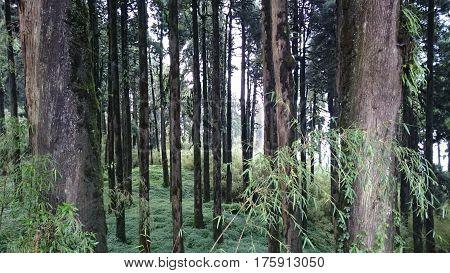 TREE STEMS NEAR TIGER HILLS IN DARJEELING