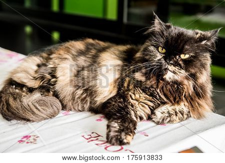 Persian Cat lovely animal and pet at home