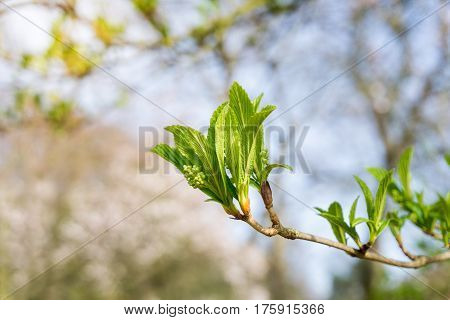 Japanese snowball in spring. Green leaves in spring