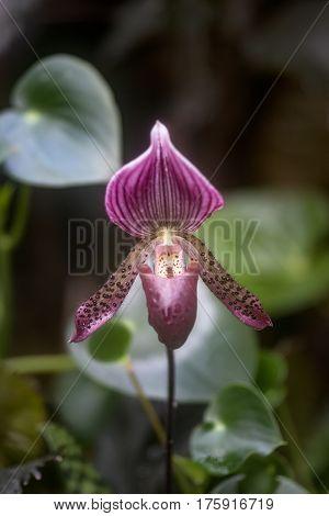 Stunning Venus Slipper Orchid Flower Paphiopadilum In Full Bloom