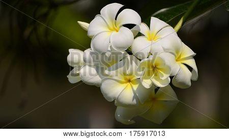 White And Yellow Plumeria Spp.