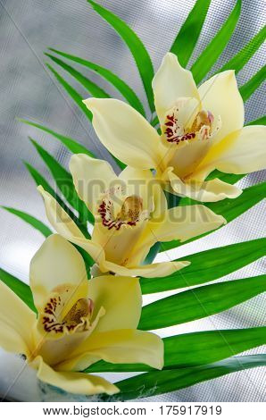 Yellow Orchid Flower Close Up, Orchidaceae, Phalaenopsis