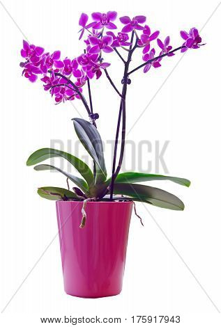 Purple Orchid In A Pink Pot, Orchidaceae, Phalaenopsis
