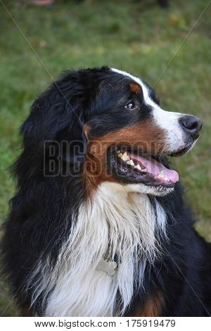 Side view of a Bernese mountain dog.