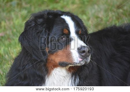 Very concerned expression on the face of a Berneser Sennenhund.