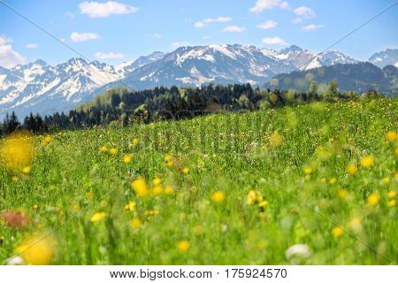 Flower meadow and mountains in background. Springtime or summer in the alps.