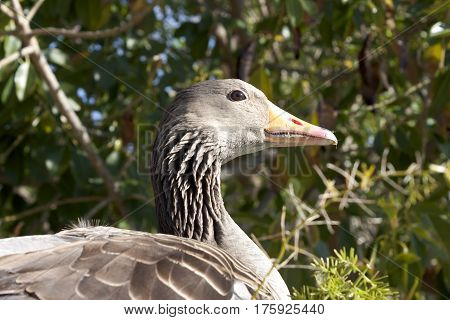 Wild goose waterfowl portrait with red beak outdoors