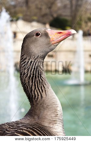 Goose waterfowl with red beak in a park