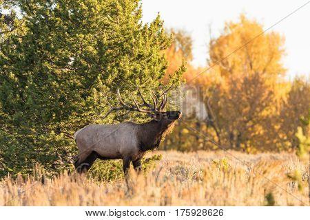 a big bull elk in the fall rut in Wyoming