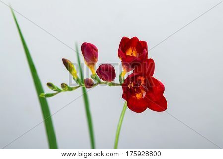 single red freesia flower on a gray background