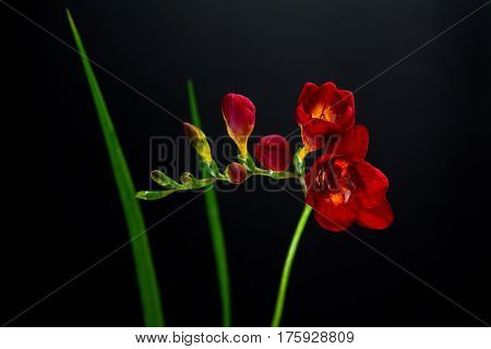 single red freesia flower on a black background