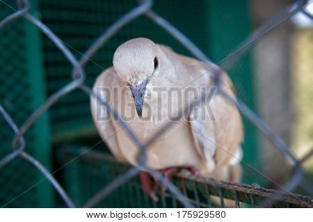 The white dove sits behind the bars
