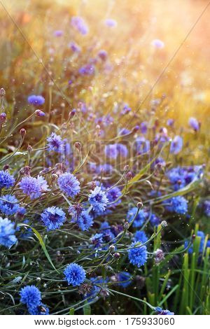 Beautiful blue wild cornflowers blooming on sunset meadow