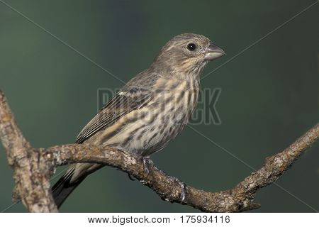 A female House Finch, Haemorhous mexicanus sitting on a branch with a smooth green background