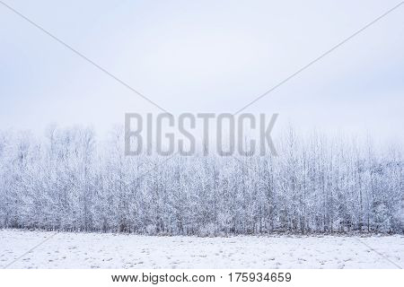 Icy cold winter in the forest. Frosty wood and ground. Freeze temperatures in nature. Snowy natural environment. Trees snow and sky.