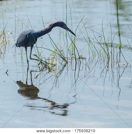 A little blue heron wading in a marshy pond with a reflection in  the rippled water with one foot lifted