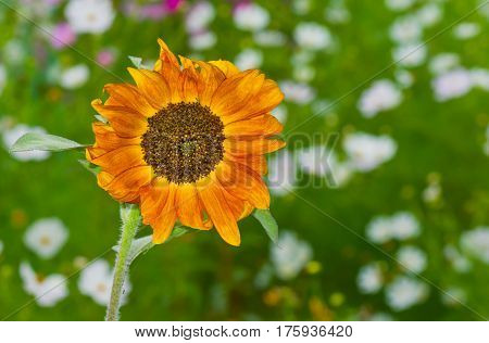 Sort of ornamental sunflower in a version of natural slogan - be different.