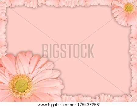 Beautiful greeting card with pink transvaal daisy flower on a pink background