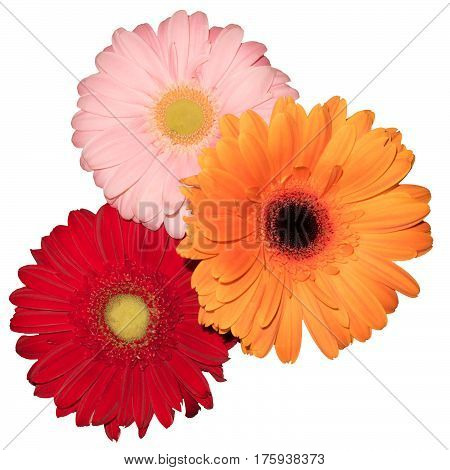 three transvaal daisy flower in white background