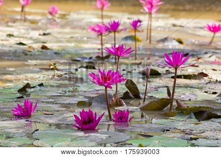 pink lotos on the water in sri lanka