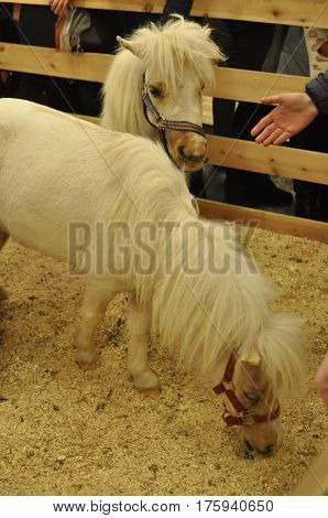 Two white pony breeds together on the farm