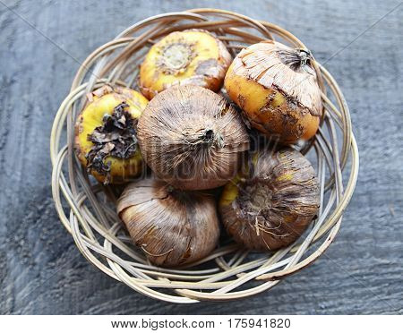 Gladiolus bulbs in a basket before planting on old wooden background.Gladiola bulbs ready to plant.Corms of gladioli.Gladioli corms.Spring garden concept.Selective focus.