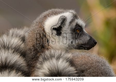 Ring-tailed lemur (Lemur catta). Most familiar large strepsirrhine primate in the family Lemuridae in profile