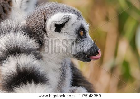 Ring-tailed lemur (Lemur catta) with tongue sticking out. Most familiar large strepsirrhine primate in the family Lemuridae licking nose