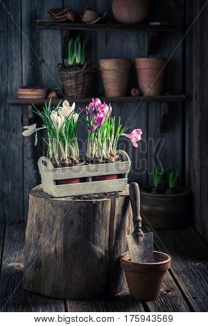 Repotting Spring Flowers And Old Gardening Tools