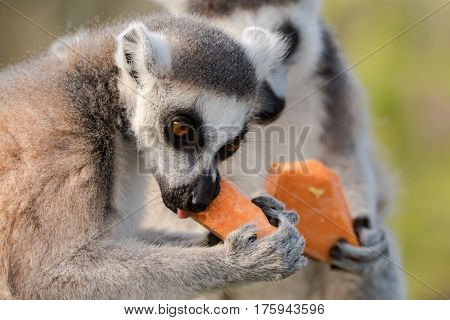 Ring-tailed lemur (Lemur catta) eating yam. Most familiar large strepsirrhine primate in the family Lemuridae gnawing on vegetables