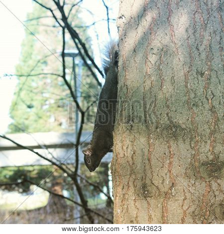 Closeup of tree trunk with brown squirrel climbing downward. Trees bridge and bright sky blurred background.