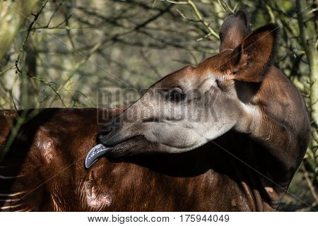 Okapi (Okapia johnstoni) with tongue extended. Giraffid artiodactyl mammal native to Central Africa grooming fur with long blue tongue