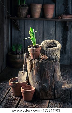 Planting Spring Flowers And Old Gardening Tools