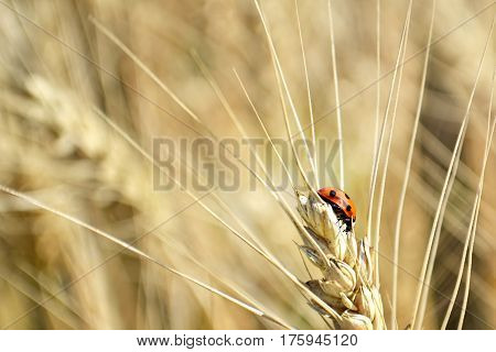 Close up of ladybug on the golden wheat