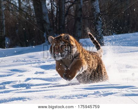 Running and hunting Siberian tiger in wild winter nature - Panthera tigris altaica