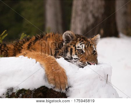 Kitten of siberian tiger relaxing lying on snow in forest - Panthera tigris altaica