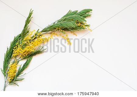 Acacia dealbata known as silver wattle blue wattle and mimosa on white background. Branches of yellow spring flowers traditional gift for the March 8 - international women's day.