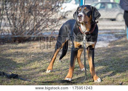 Appenzeller sennenhund dog standing outdoorsin the street
