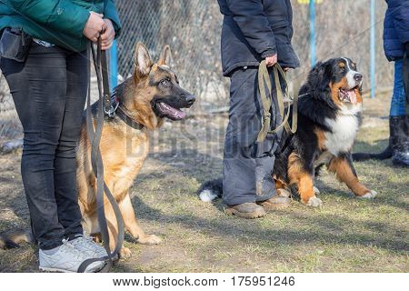 Shepherd And Bernese Mountain Dogs Sitting Near Their Masters Legs During The Dog Training Course In