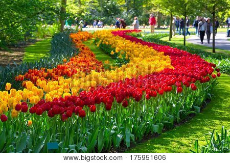 Colorful tulips in the Keukenhof park, Netherlands. Flower bed of colourful tulips in spring. Keukenhof park, Netherlands. Fresh blooming tulips in the spring garden. Blooming flowers in Keukenhof.