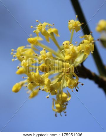 The early bright yellow flowers of Cornus mas also known as Cornelian cherry, European cornel or Cornelian cherry dogwood, sunlit against a background of blue sky.