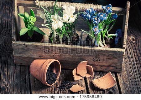 Freshly Grown Spring Flowers And Old Clay Pots