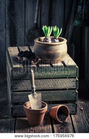 Planting Spring Flowers In An Old Wooden Workshop
